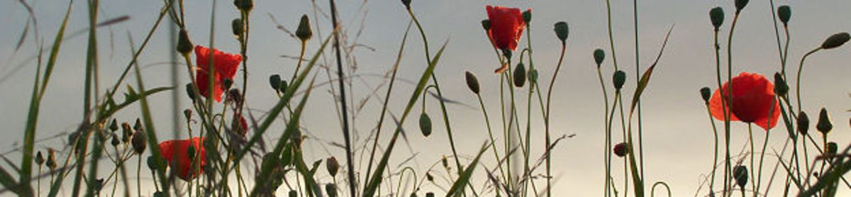 Red Poppies in Flanders Fields - World War I