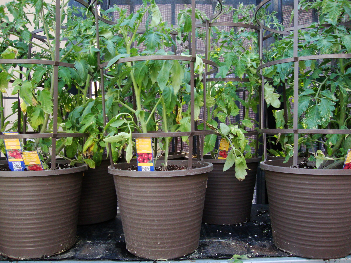 How To Grow Tomatoes In Containers By Rosie Writes Hubpages