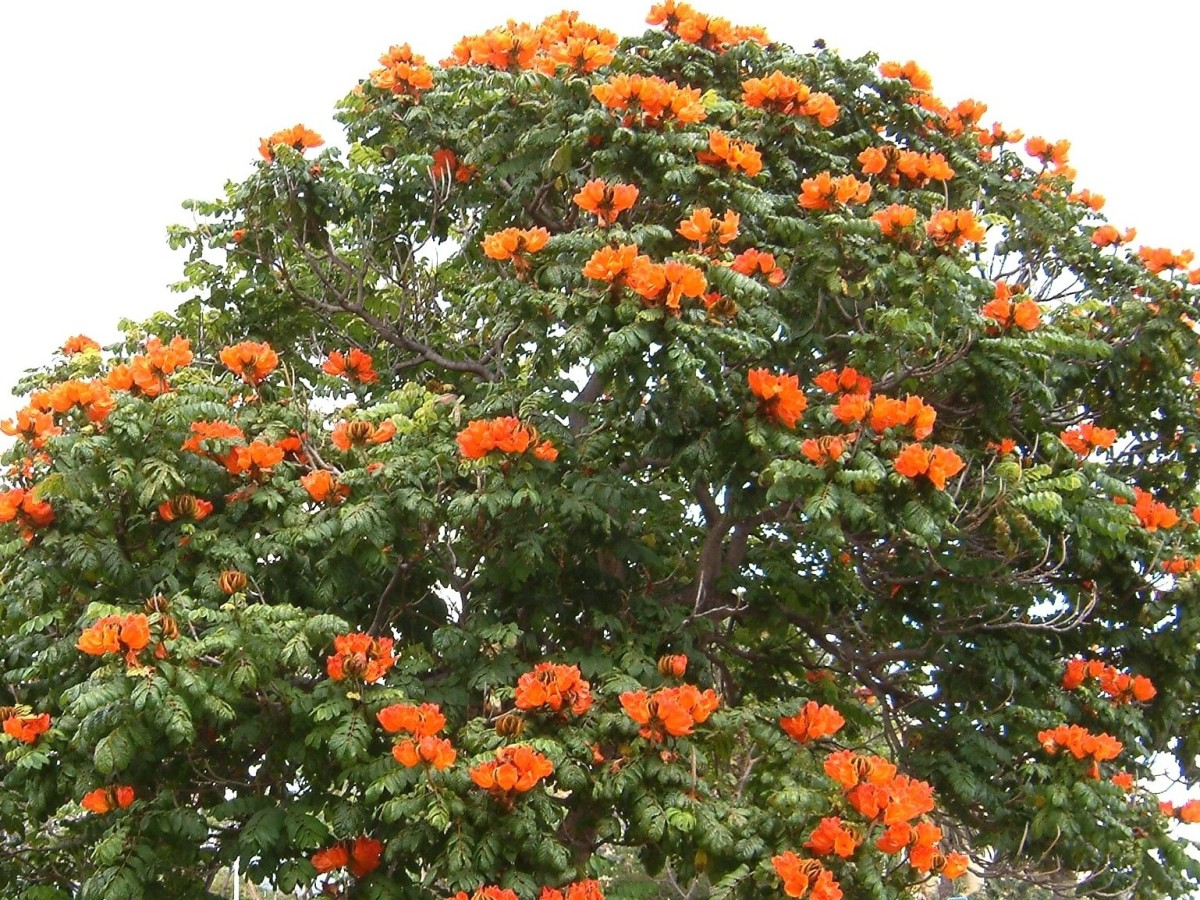 Spathodea - Flame of the Forest - African Tulip Tree - Some Health Benefits