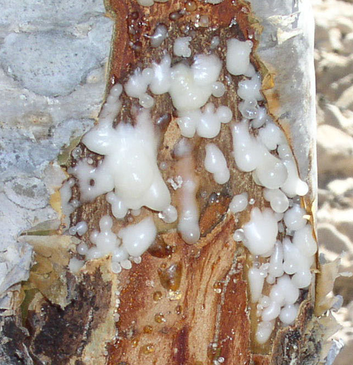 the sap from the Boswellia sacra tree is bled out to produce frankincense.