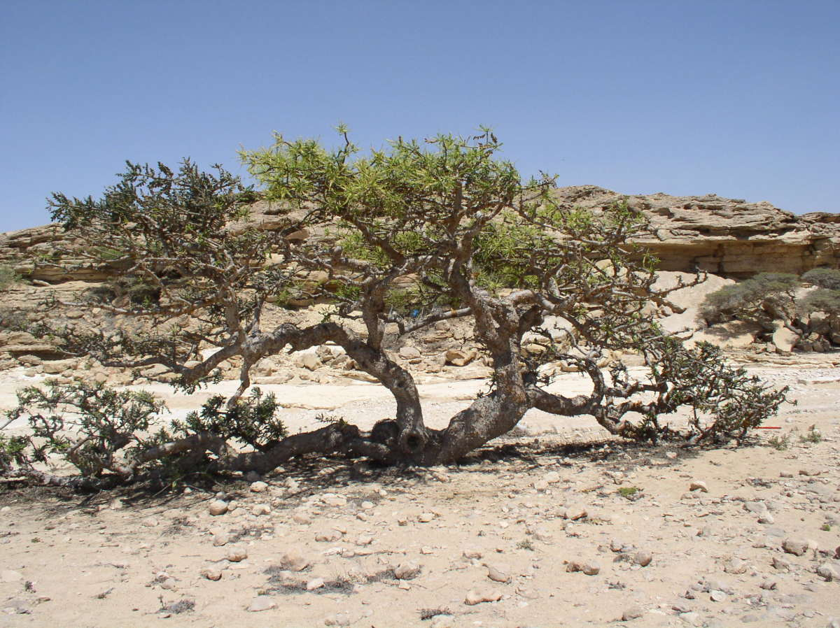 an old Boswellia sacra tree growing in the arid dry region of Dhofar, Oman.