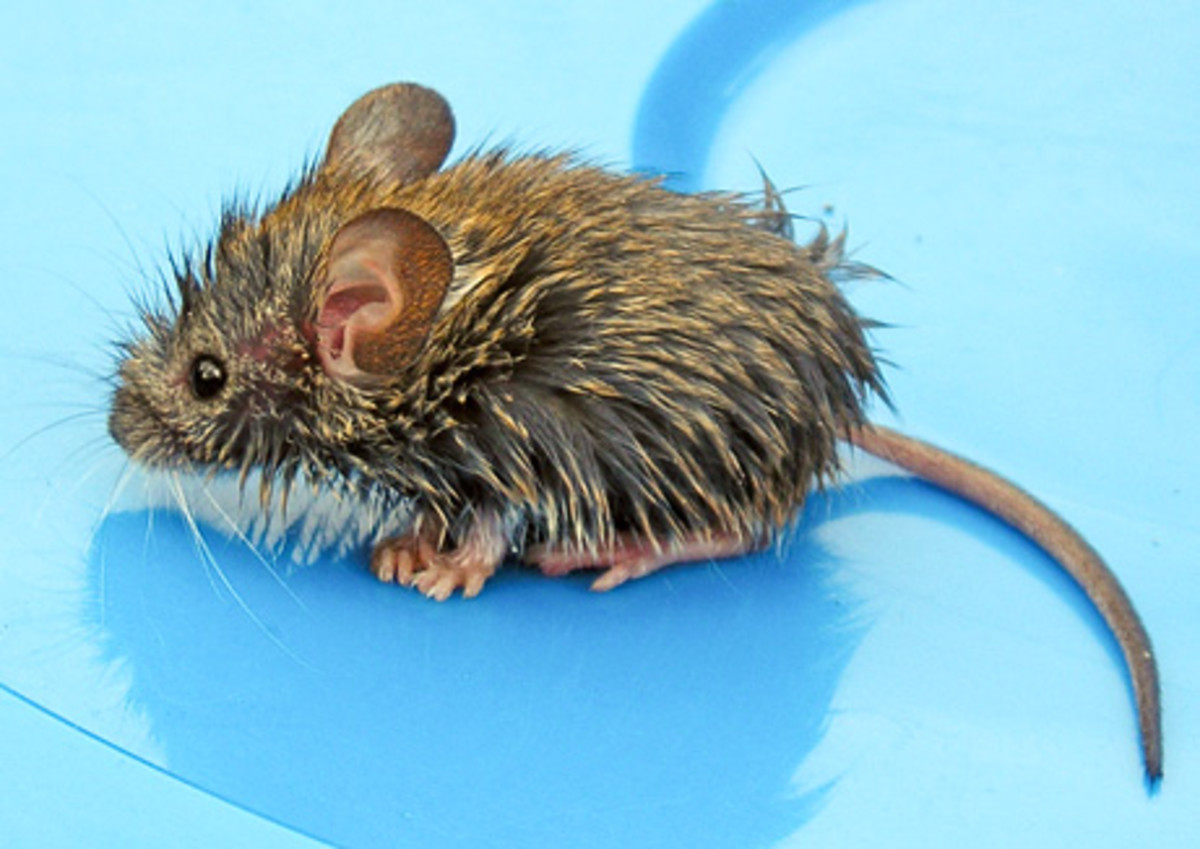 Wet mouse, like Despereaux after eating soup.