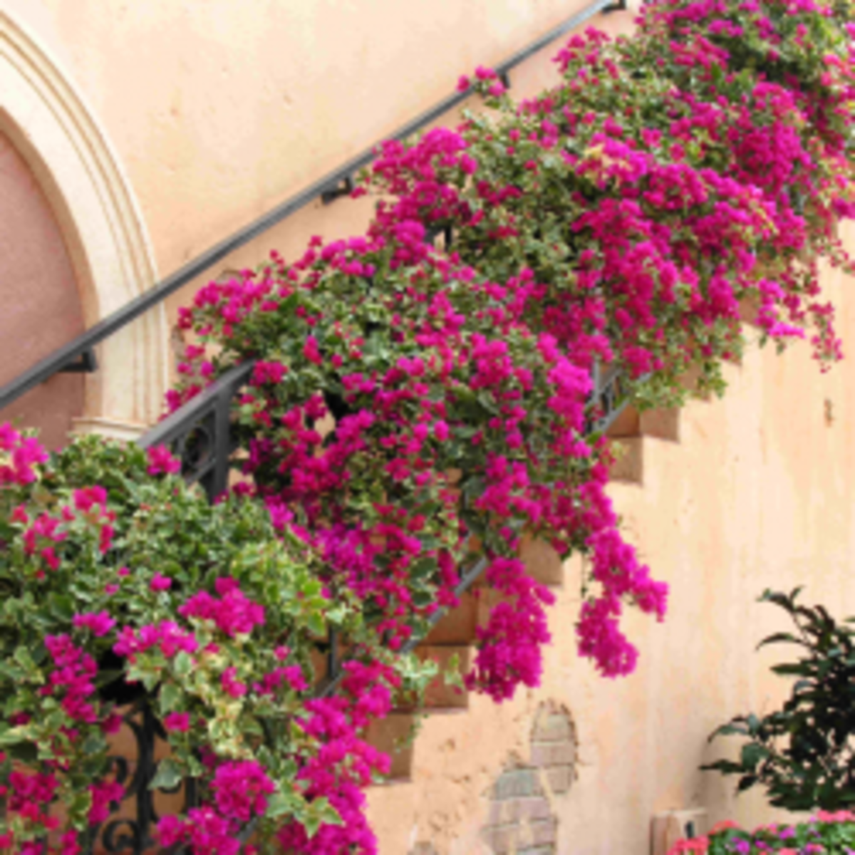How to Grow Bougainvilleas