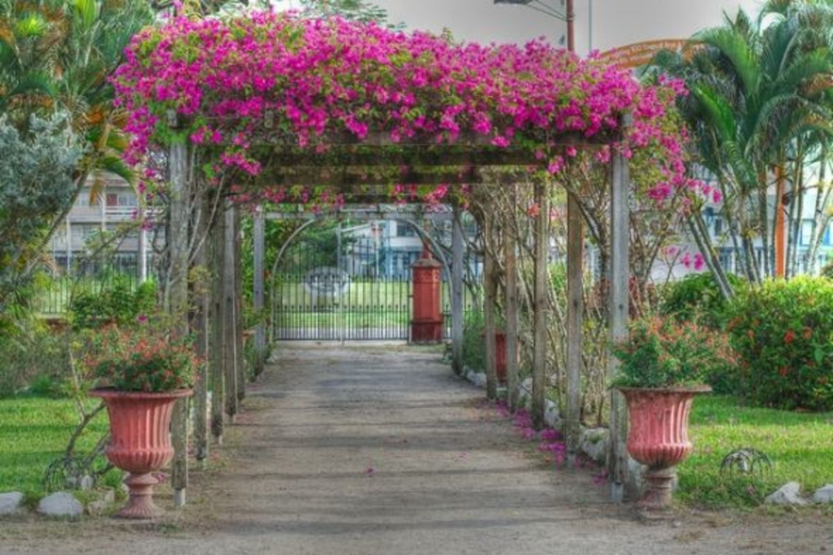 how-to-grow-bougainvilleas