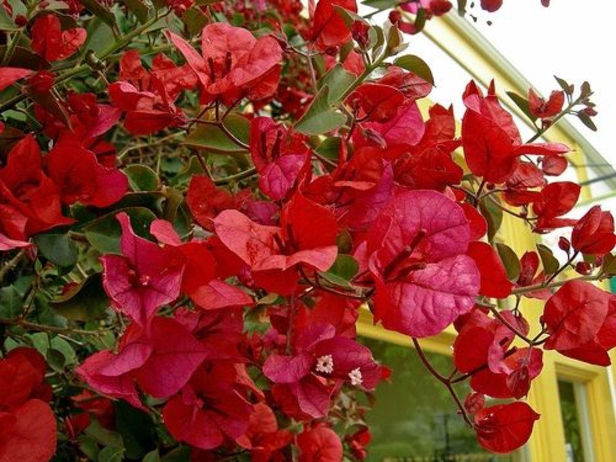 Red bougainvillea