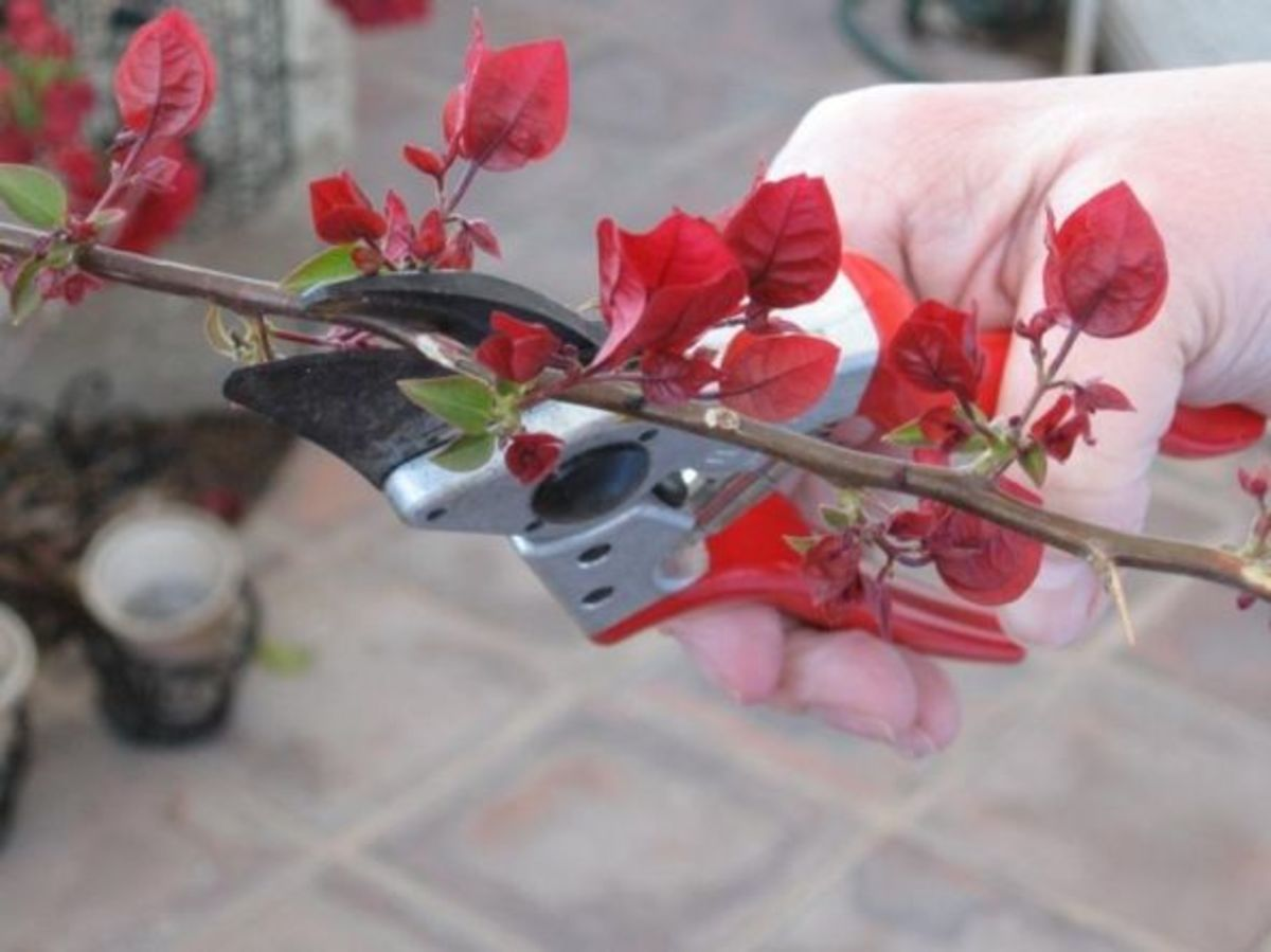 Growing Bougainvillea from Cuttings
