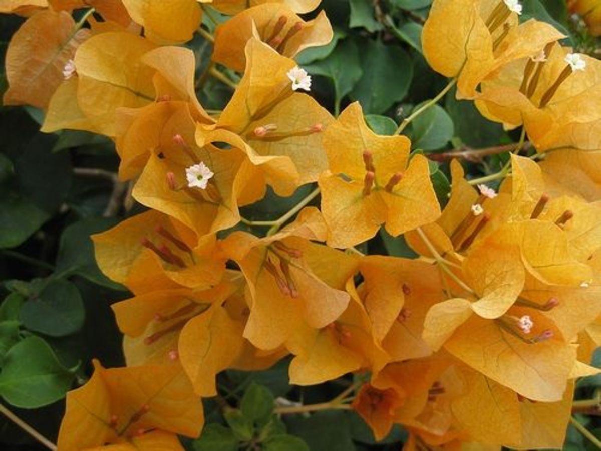 yellow bougainvillea