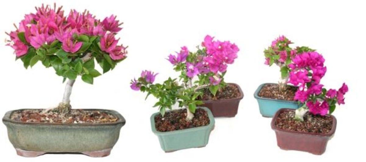 How to grow bougainvilleas for Bougainvillea bonsai prezzo