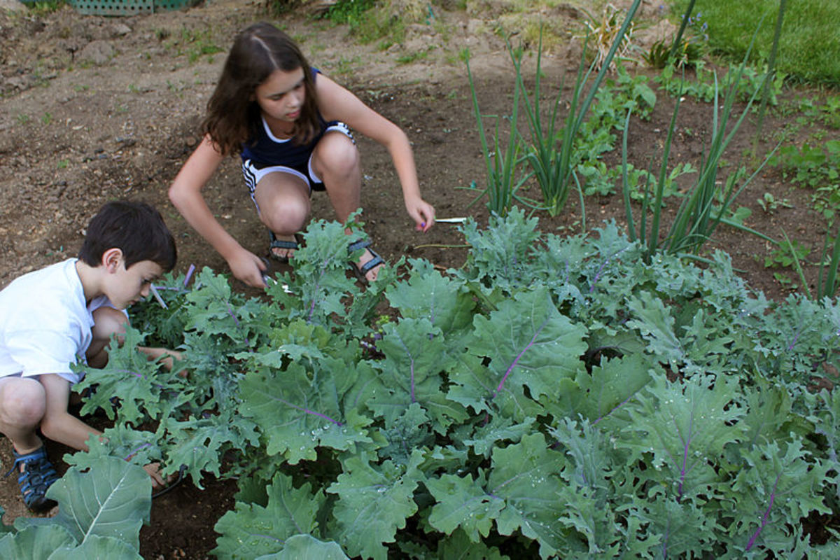 Kale is relatively easy to grow in your own back yard.