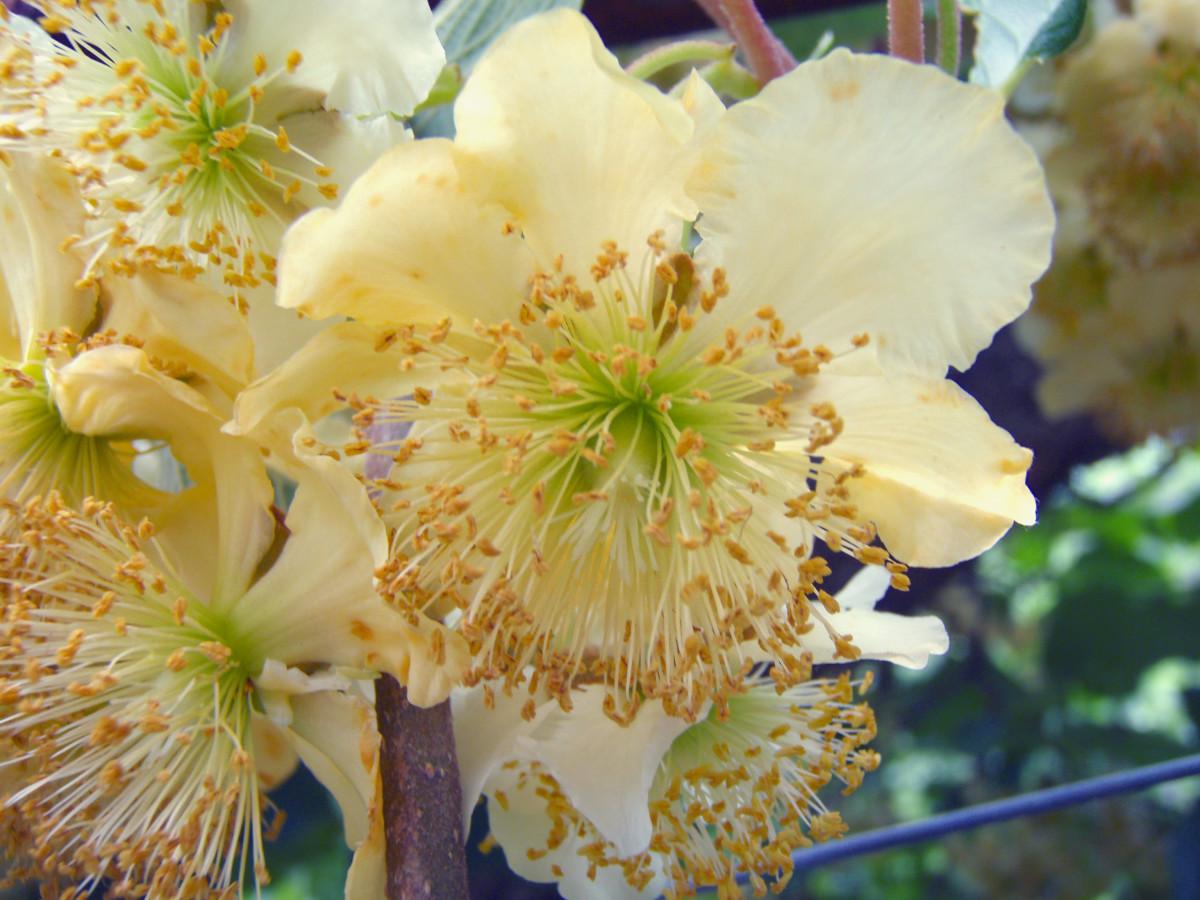 Kiwi male flower
