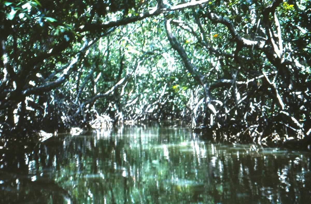 Bob Your Head! A Short Cut Through the Mangroves