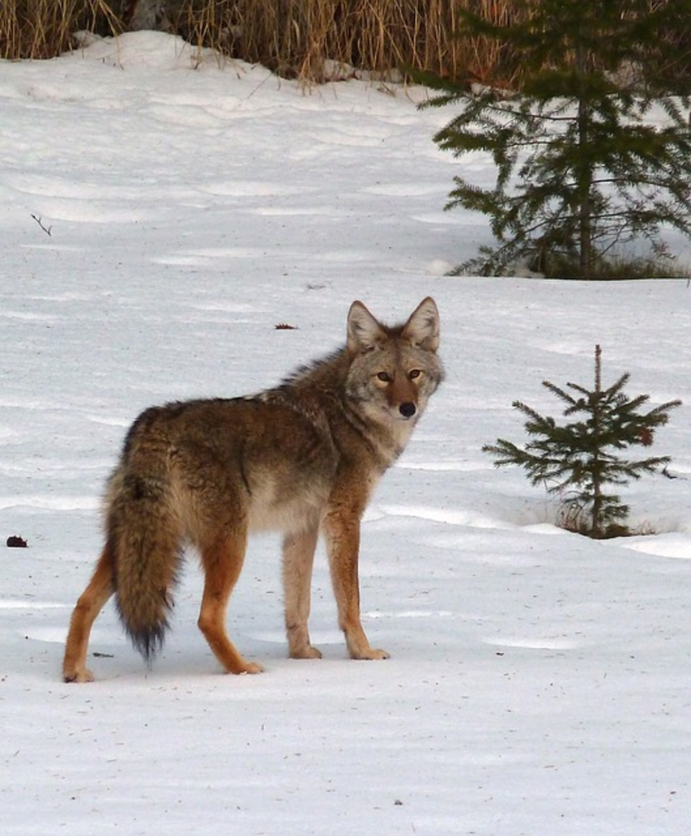 "Coyotes pose far more of a danger to livestock than people.  When they mate with domestic dogs, they produce an aggressive offspring known as ""coydogs""."