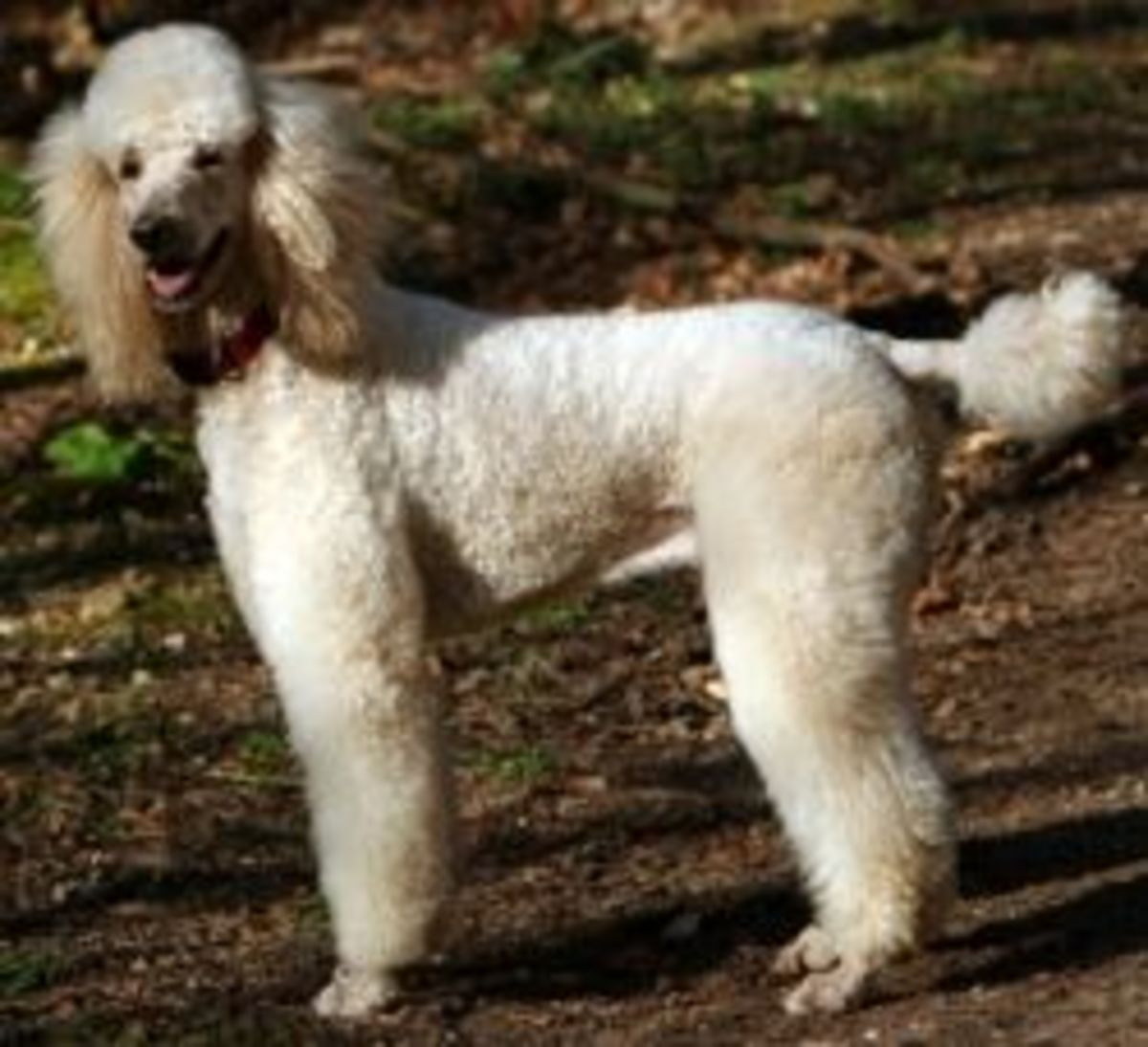 Best Clippers For Poodle Grooming