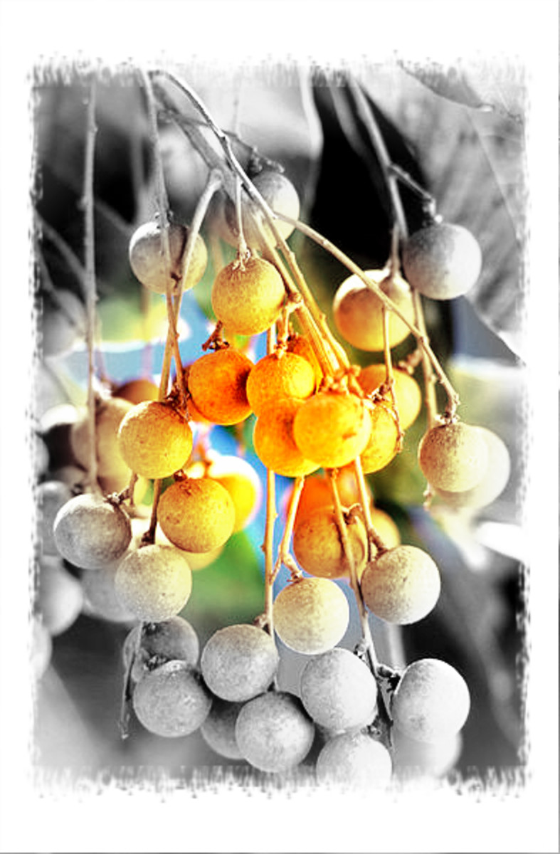 getting-to-know-the-longan-and-its-benefits