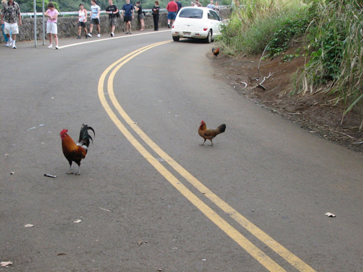 The aim of these chickens is to get to the other side of the road. poor chickens those nasty people are laughing at them.