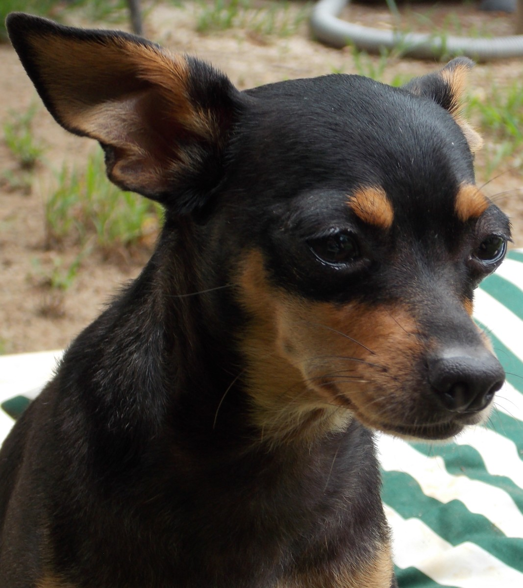 The Deer Head Chihuahua, longer snout and less rounded forehead