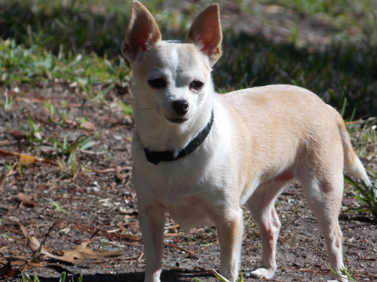 Princess, an apple head Chihuahua