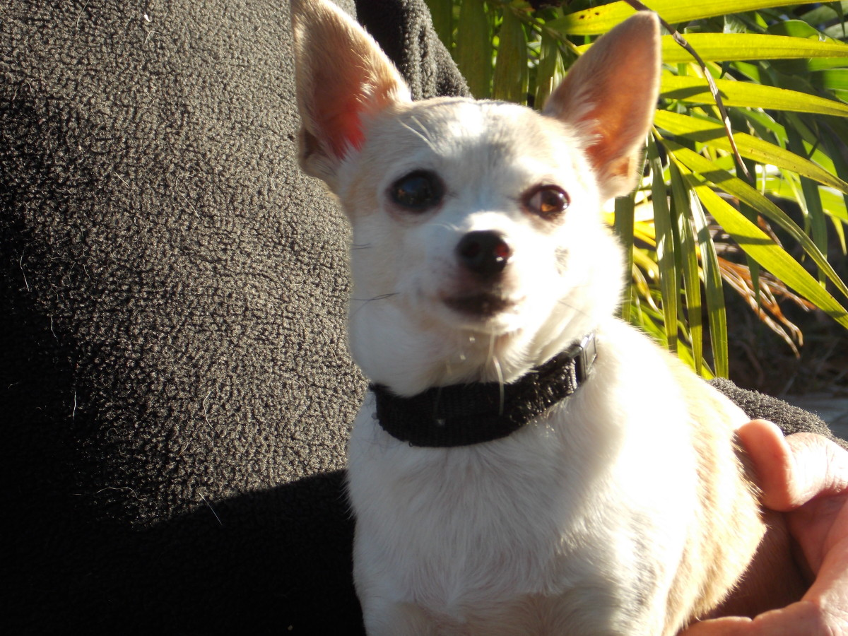 The Apple Head Chihuahua, a shorter snout and wider, rounded forehead.