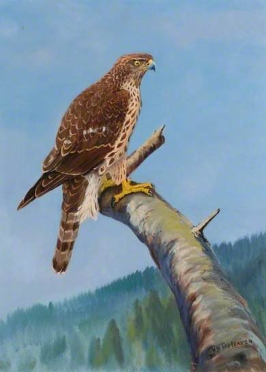 'Chaku', First Year Goshawk