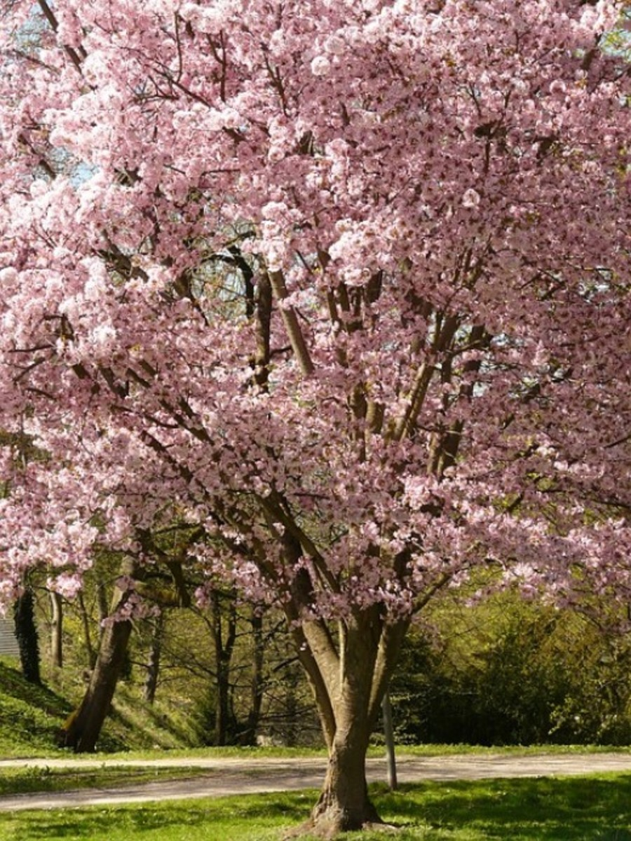 Cherry Tree in Blossom