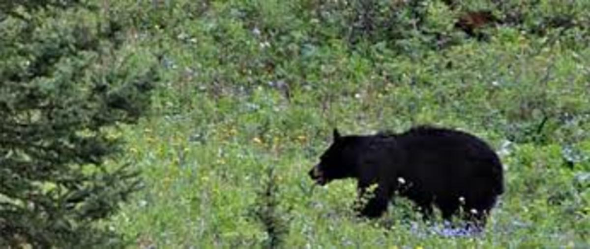 Black Bear in Spring Flowers