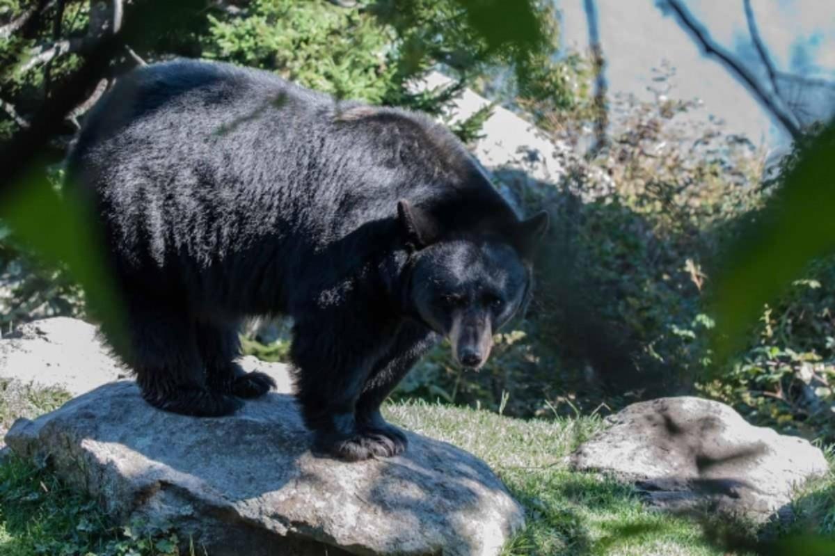 "A Black Bear:  ""...staring down the mountain..."""