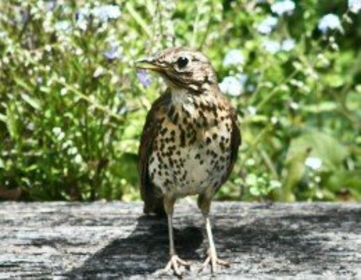 Mavis (Song Thrush)