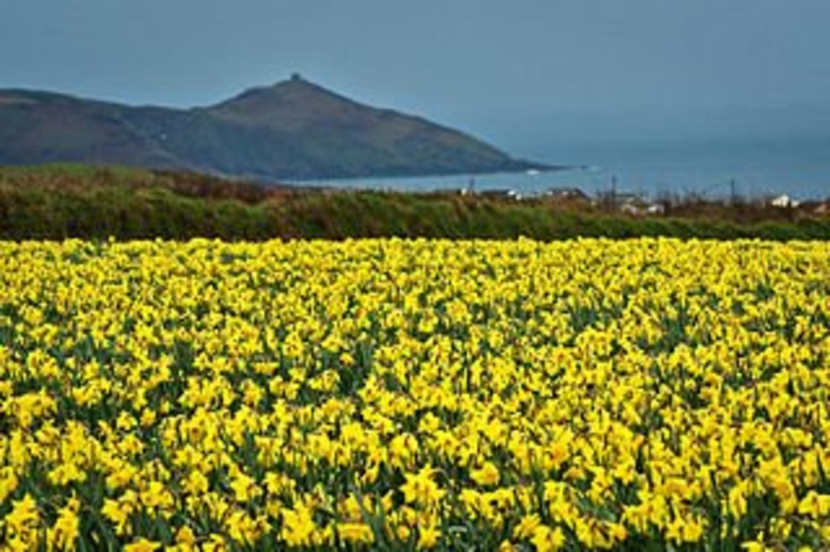 Daffodils in South East Cornwall