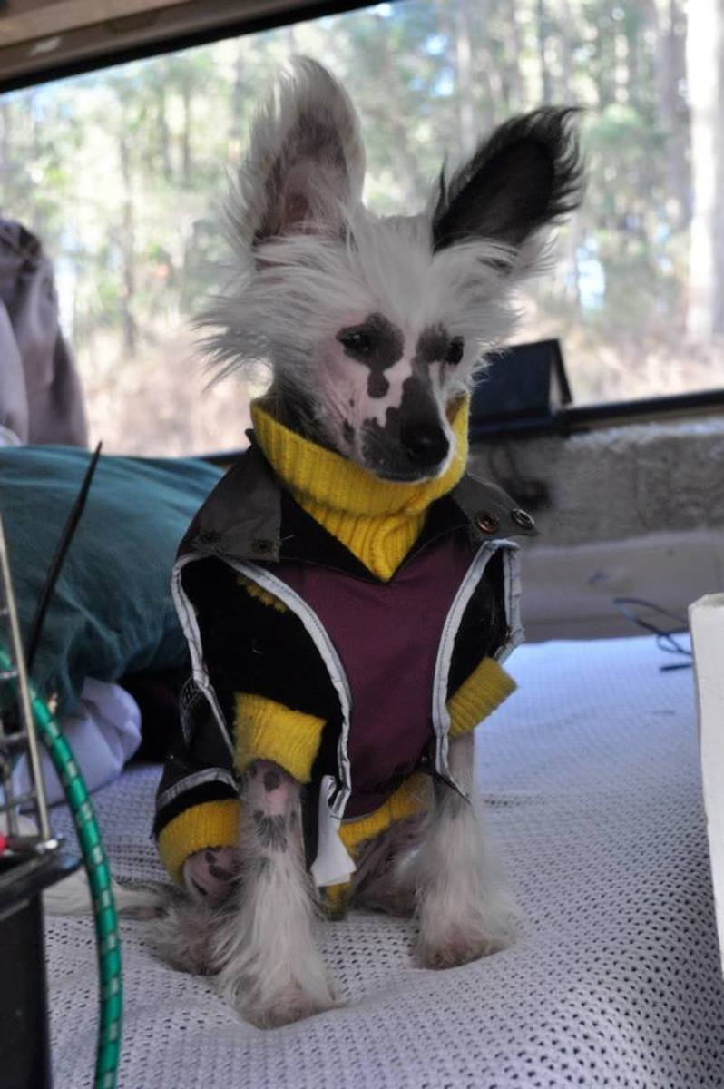 Chinese crested dog before purchasing her own car booster seat.