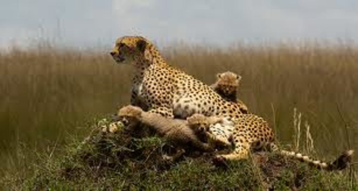 Facts about Cheetah Adaptations : Camouflage Survival in the Savannah