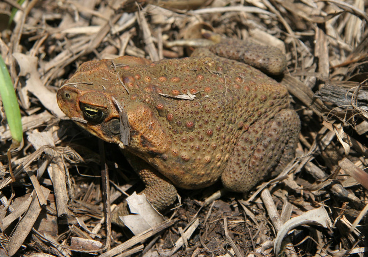 The Cane Toad (Australia's Greatest Pest)