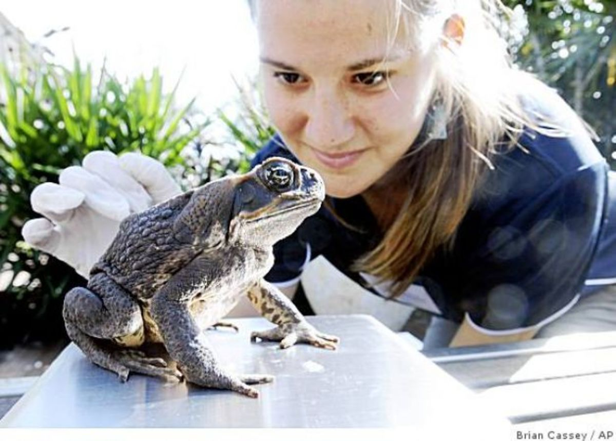 the-cane-toad-australias-greatest-pest