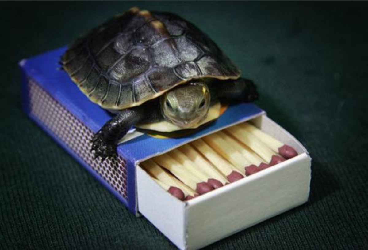 Chinese box turtles are quite social and congregate in groups. In captivity they have been known to live up to 50 years.