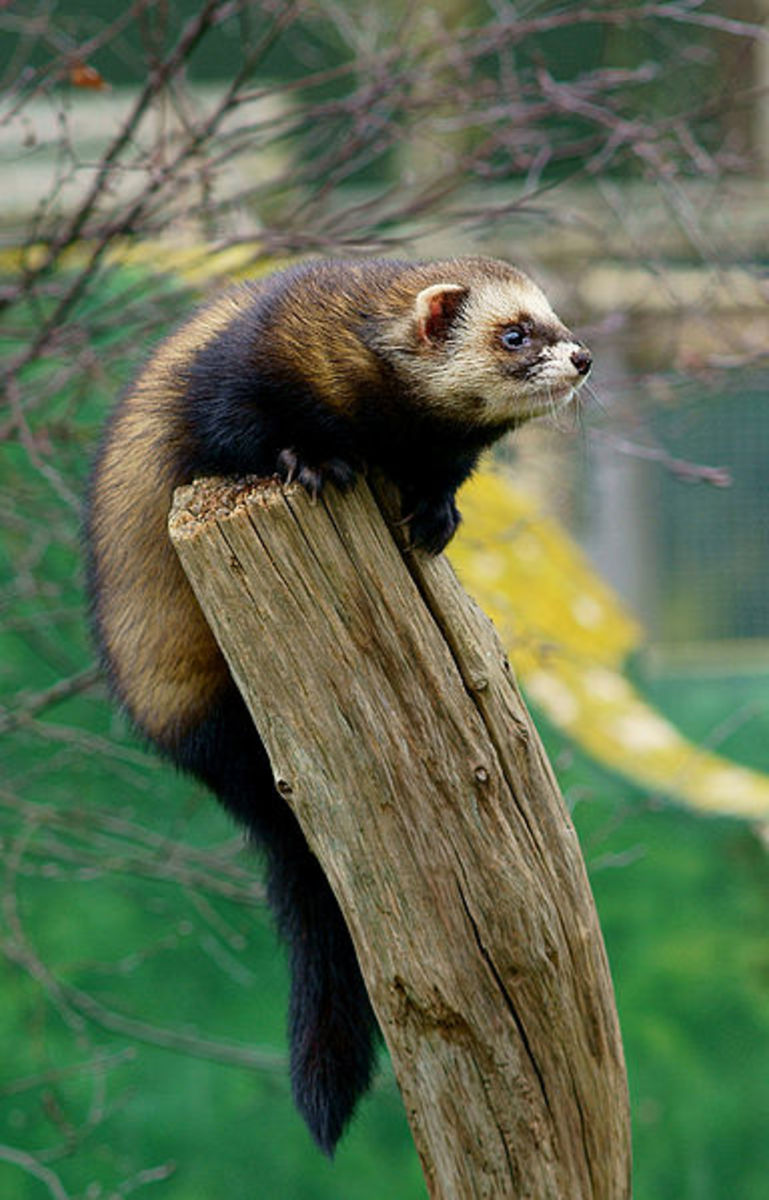 A relative of  the stoat, otter and badger, the polecat is the forgotten animal of the British countryside. It's mostly a nocturnal hunter, but you may be lucky enough to see one in daylight, like this individual.