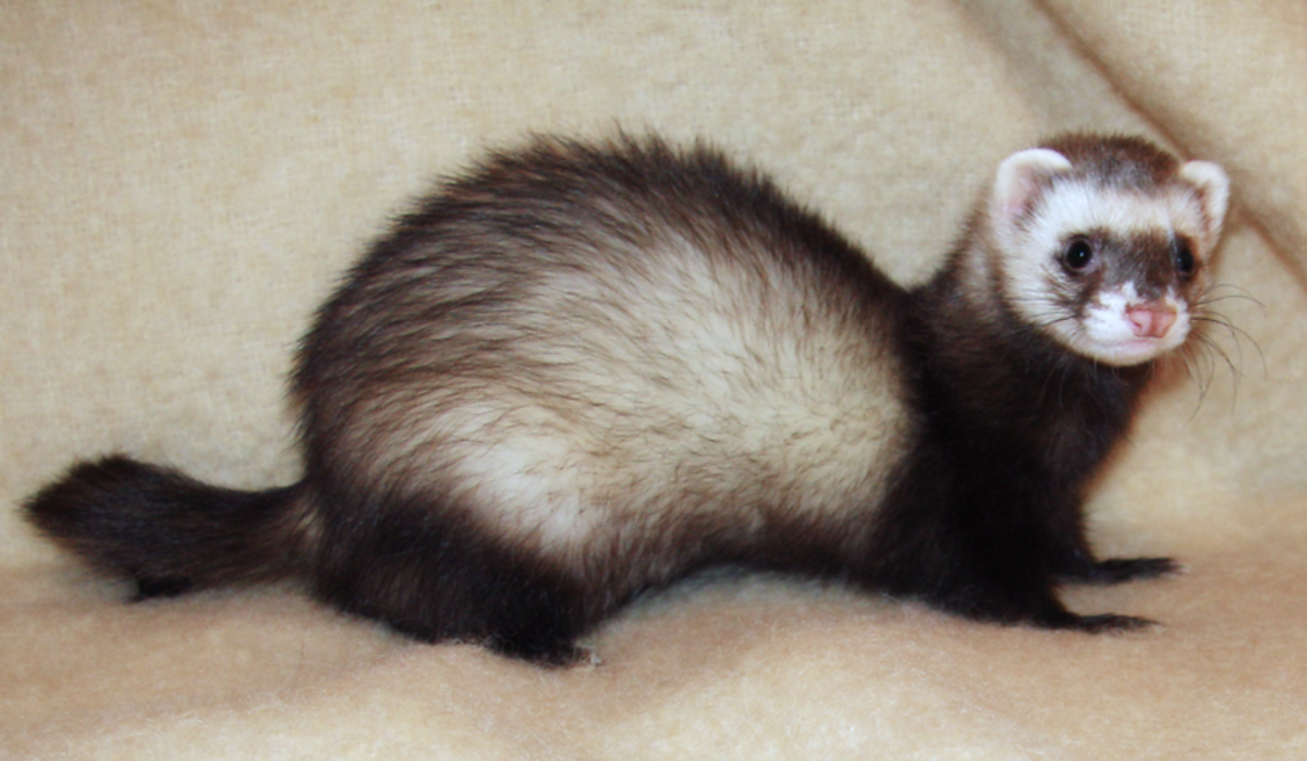 This animal is a polecat-ferret hybrid. It is has paler fur on its face and possesses a pink nose. However, some hybrids can be difficult to distinguish from the real thing.