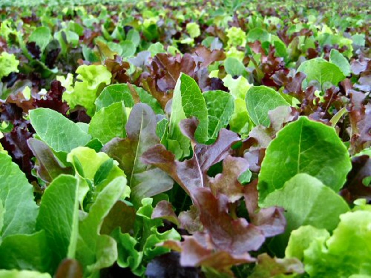 Grow Mixed Greens in Your Garden