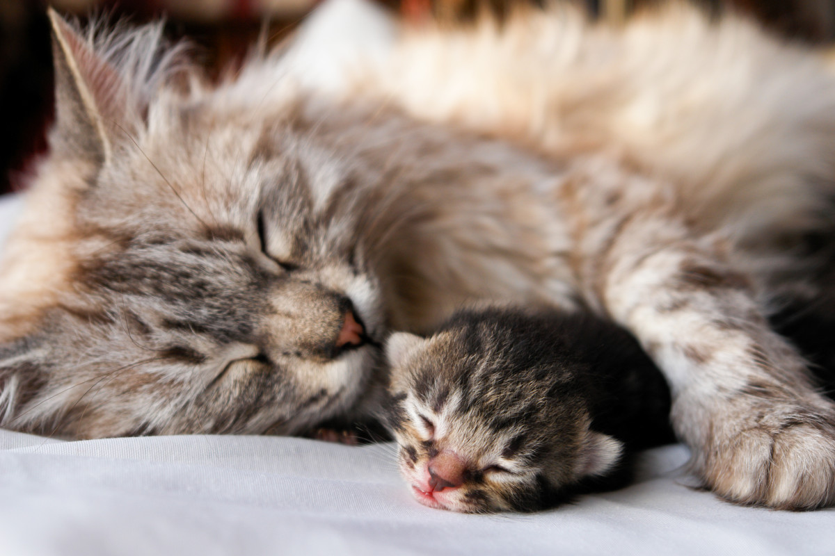 How Long Does a Cat Stay Pregnant?