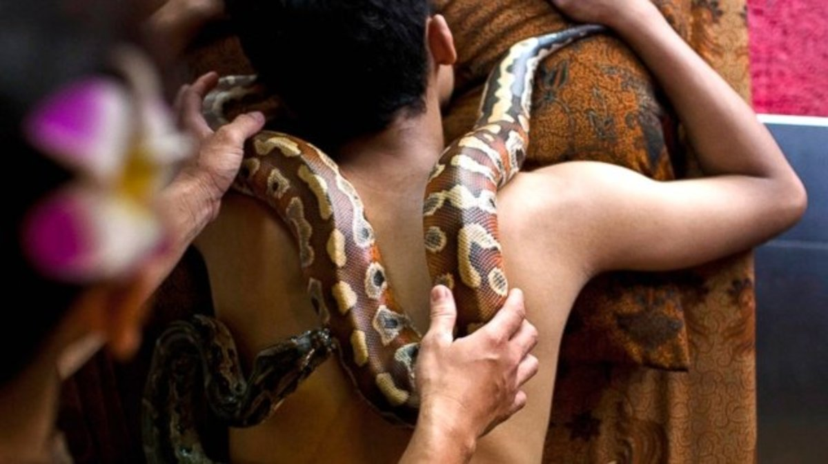 Python used in snake massage therapy in Indonesia