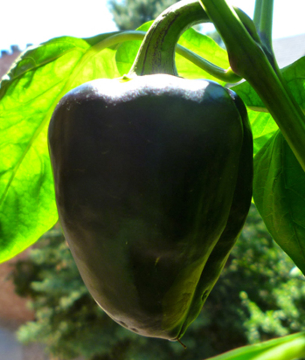 Ripe Purple Beauty bell peppers will turn a deep red color. This particular pepper is about 10-20 days away from totally ripening.