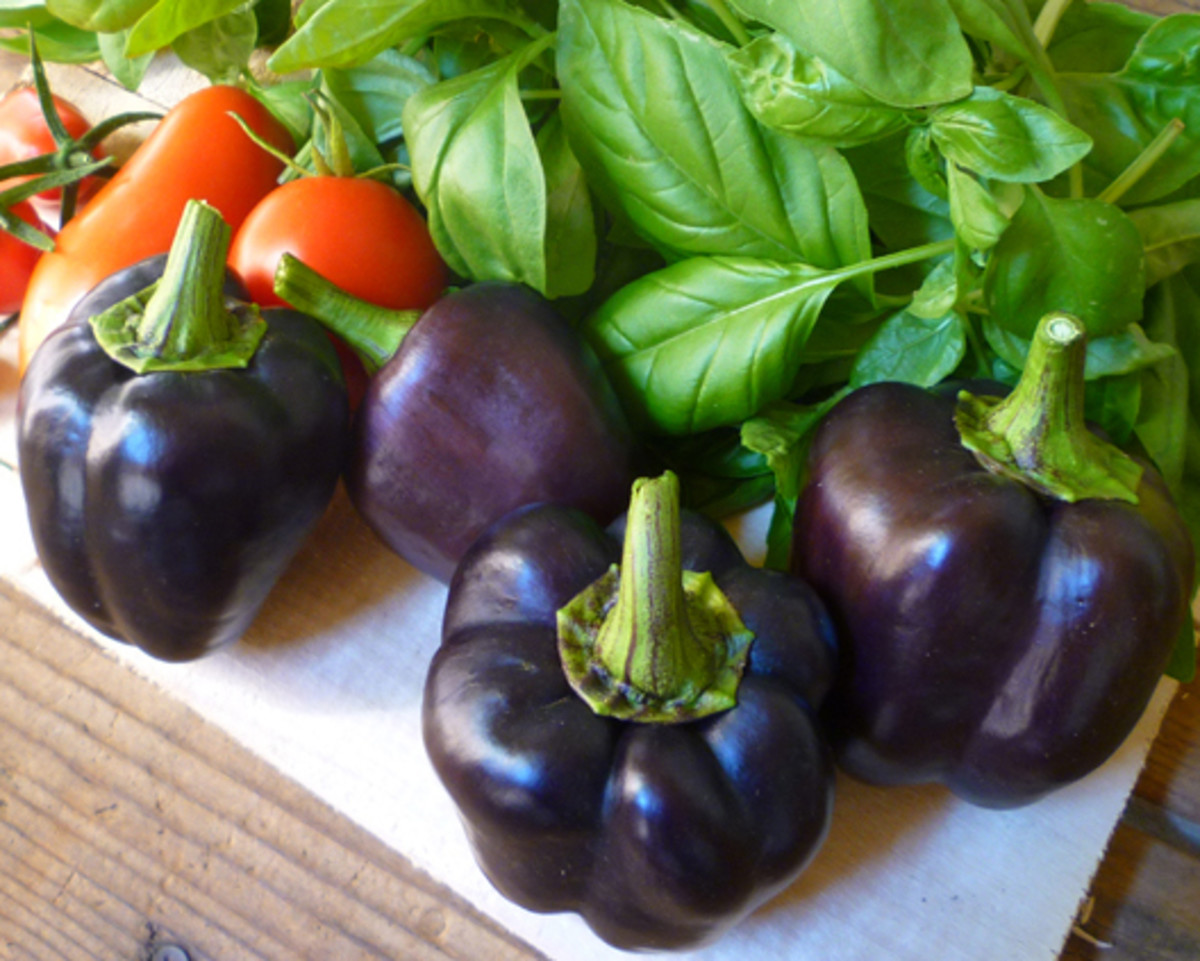 Harvested Purple Beauty Bell Peppers. While the fruits look very appealing, these four purple bell peppers were the bulk of the summer 2013 harvest.
