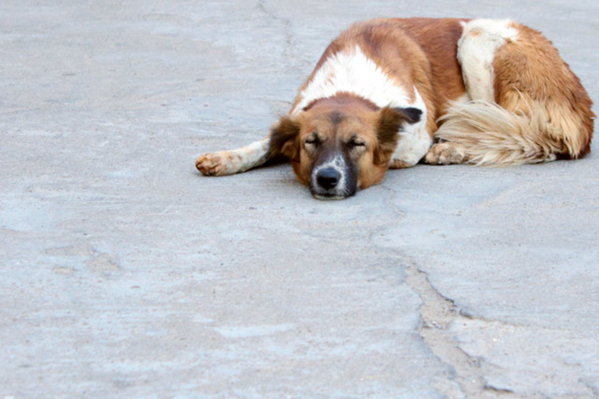 Dog Sleeping on the Road