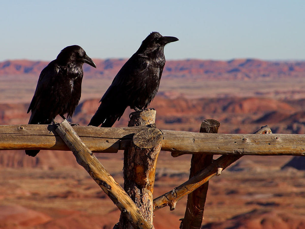 Common Ravens in the Petrified Forest National Park, Arizona.
