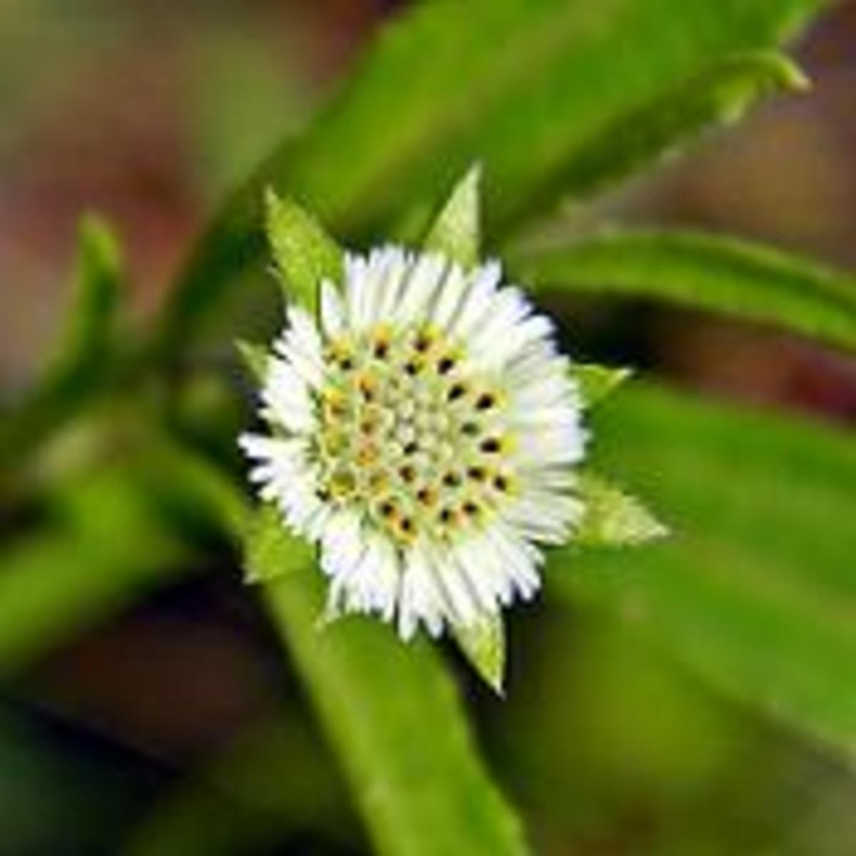 False Daisy Extract Soothes, Protects, and Heals the Skin