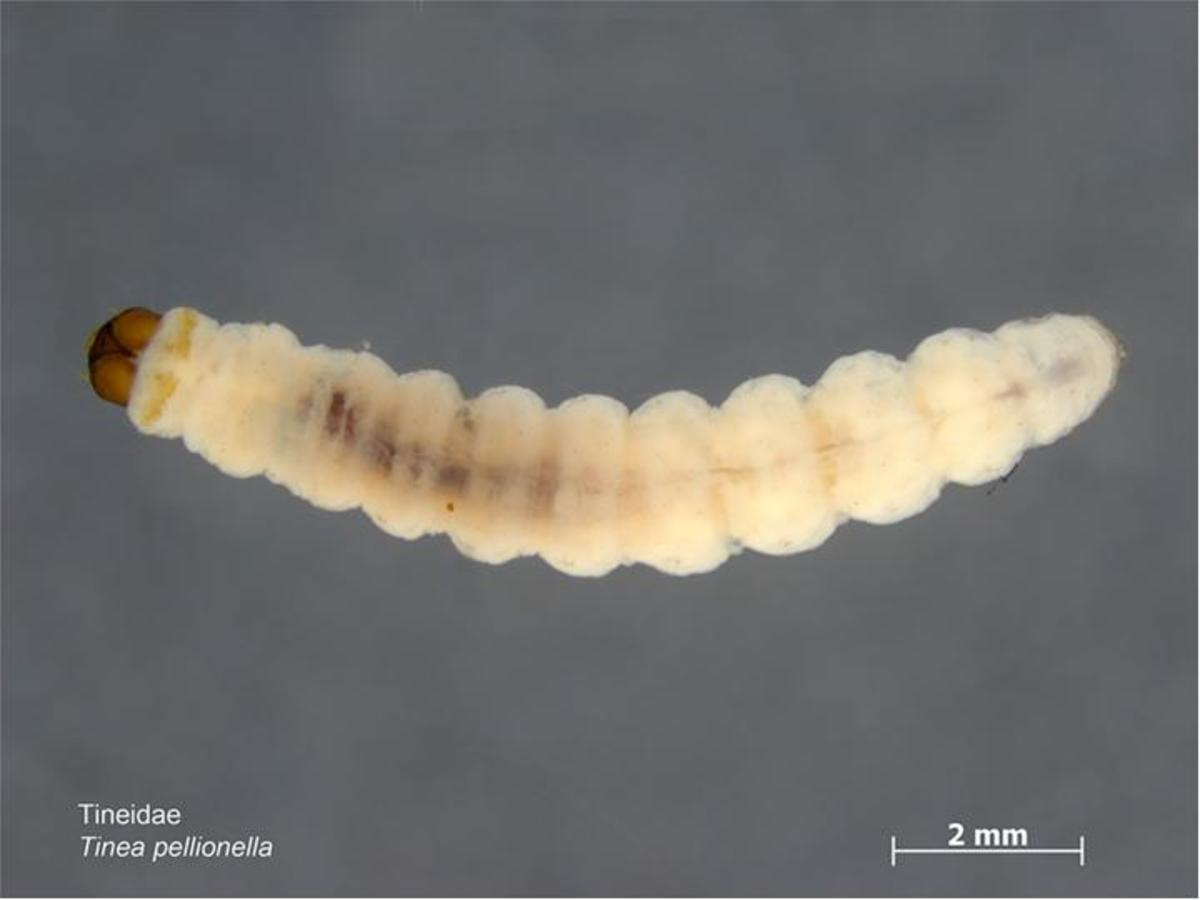 THIS IS THE CATERPILLAR OF THE CLOTHES MOTH