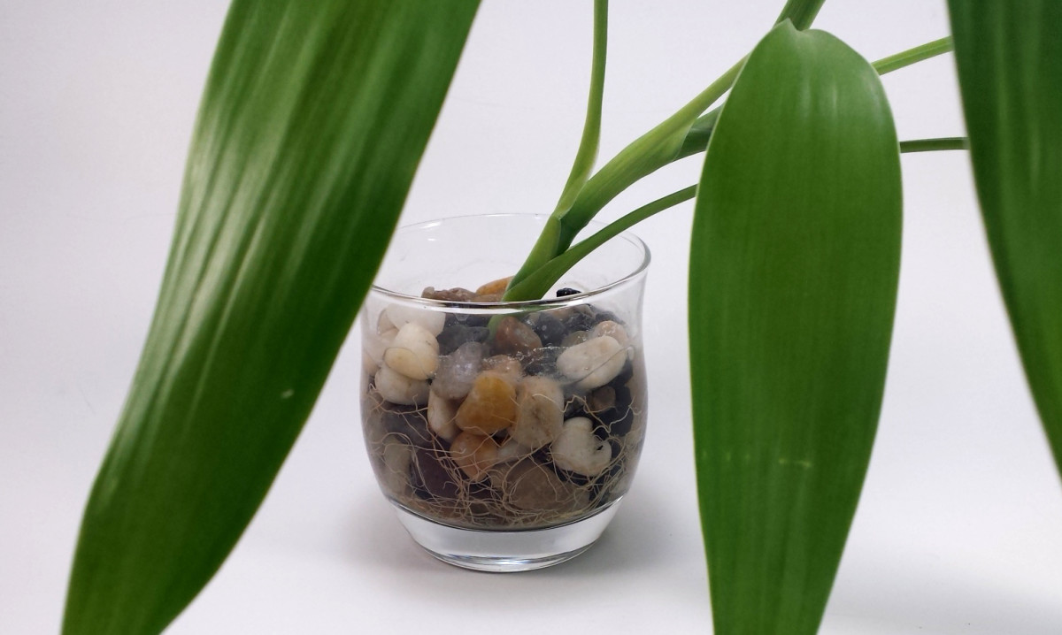 Roots growing from a single Lucky Bamboo branch in water with aquarium rock