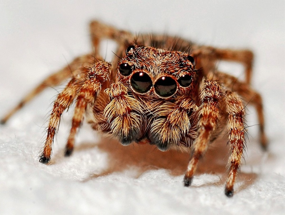 What's fear inducing and has more eyes than legs? A spider!