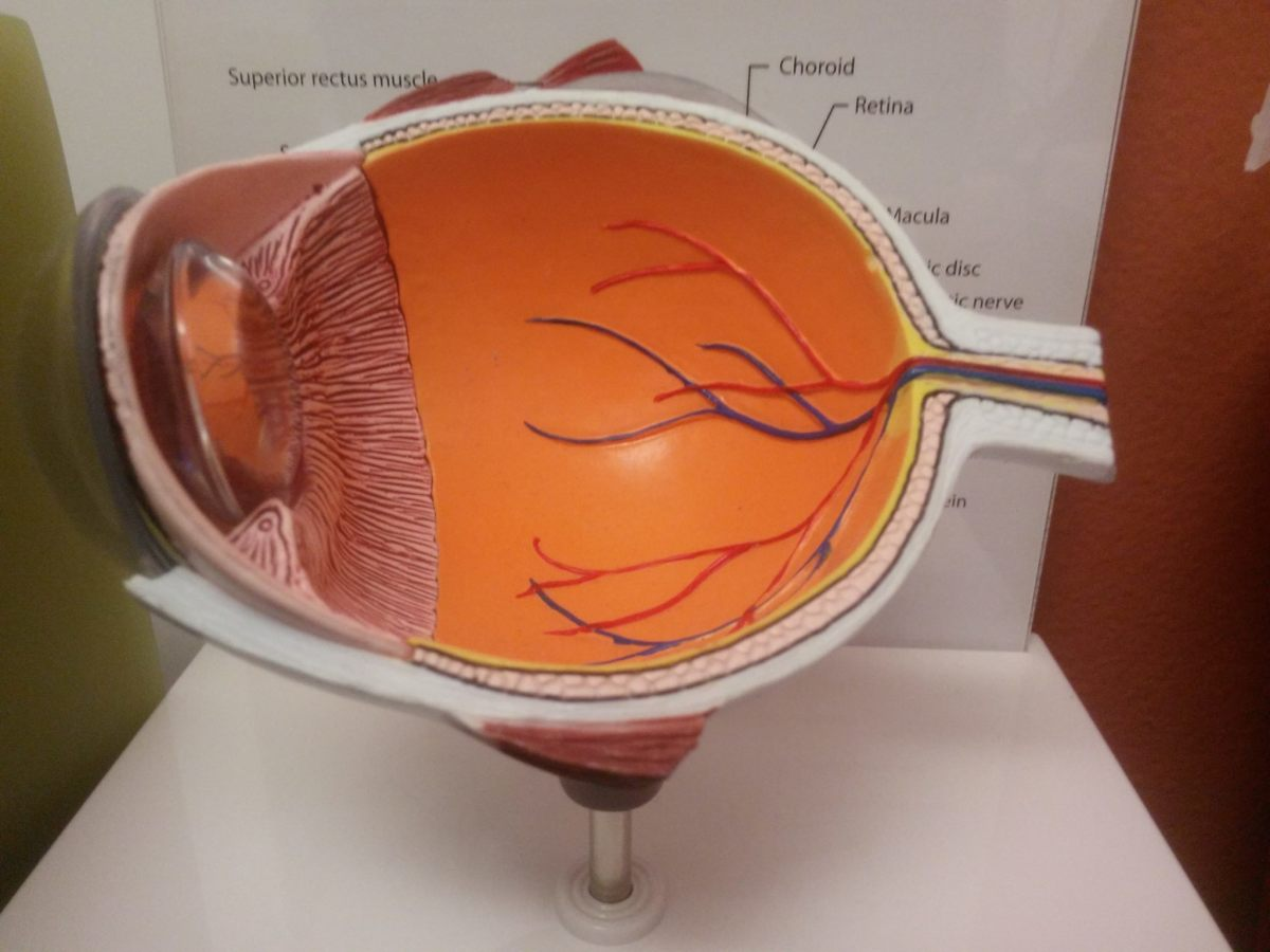 A model showing the cross section of an eye