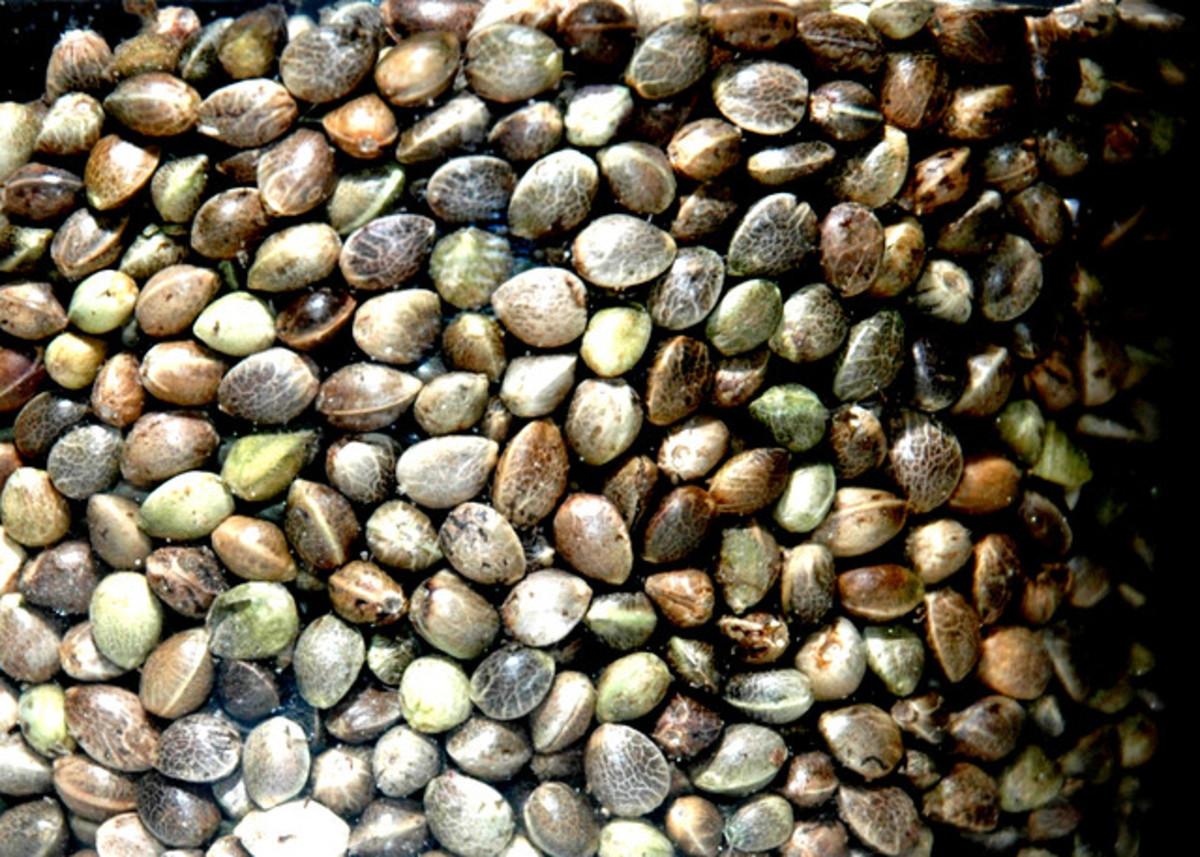 Hemp oil is extracted from hemp seeds.