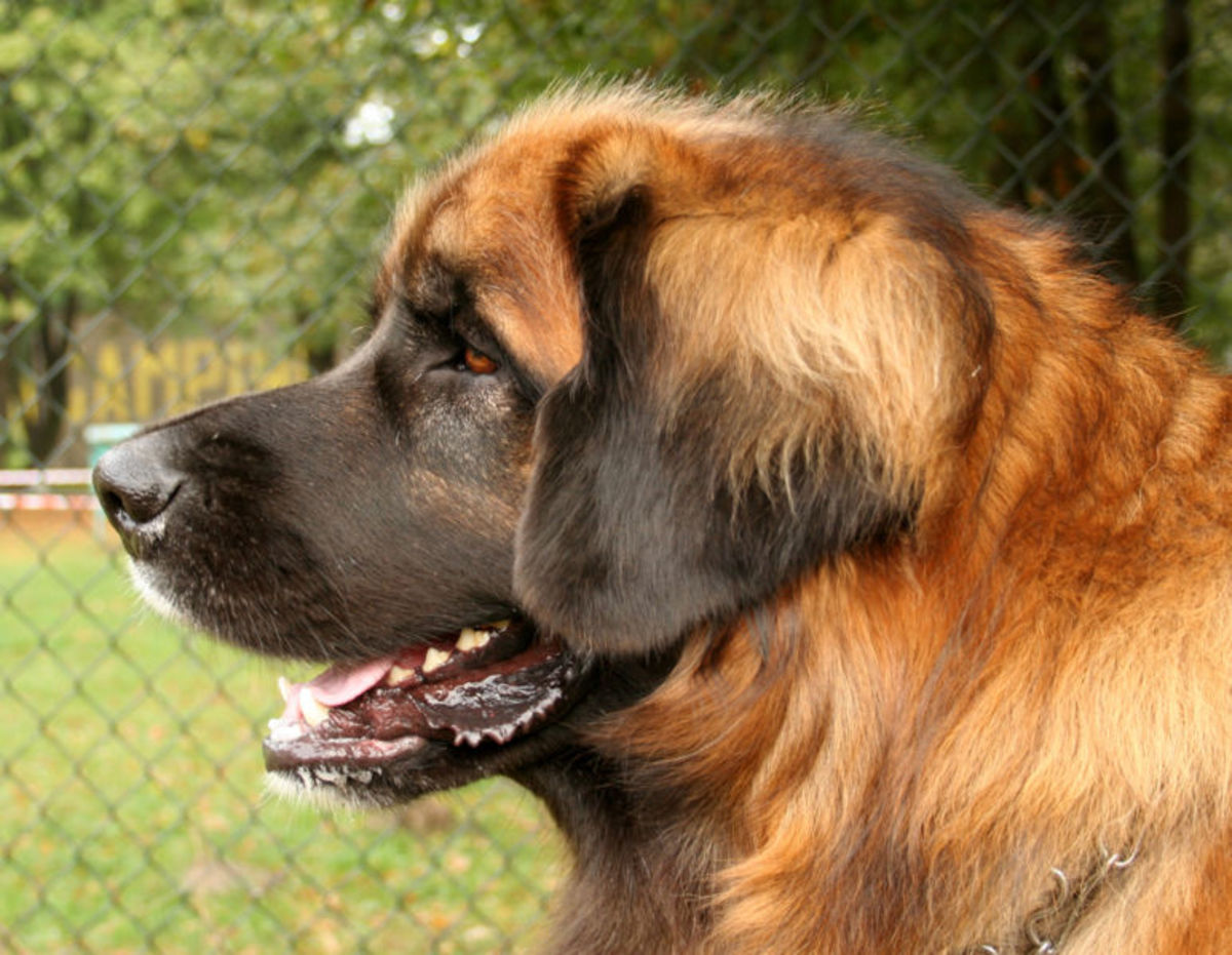 Leonberger's are gigantic, beautiful dogs.