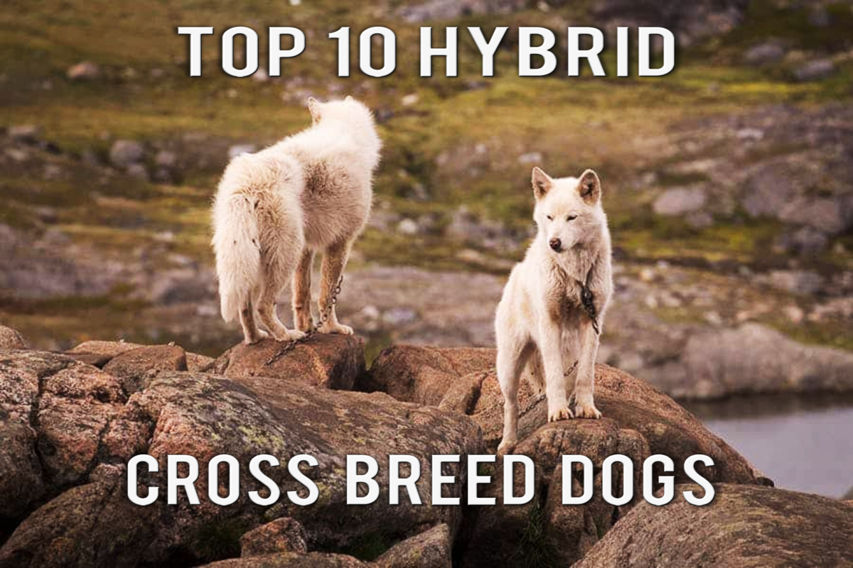 The 10 True Hybrid Cross Breed dogs